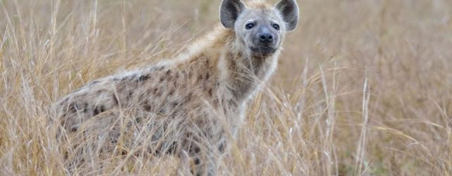 Hyenas Roamed At Canada's Arctic Plains Proved By Fossil